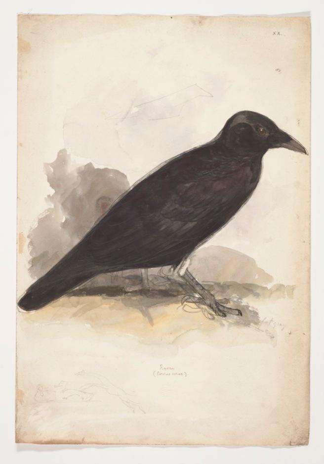 Corvus Coraz 1835