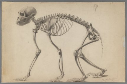 Philip H. Wolfrom (American. Skeleton of a Primate