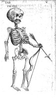 Foetal Skeleton with Bow and Arrow, 17th century.